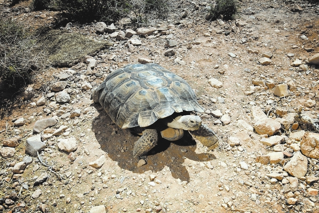 Clark County commissioners plan to check with other jurisdictions and see whether they have concerns about the desert tortoise's threatened status. (Jessica Ebelhar/Las Vegas Review-Journal)