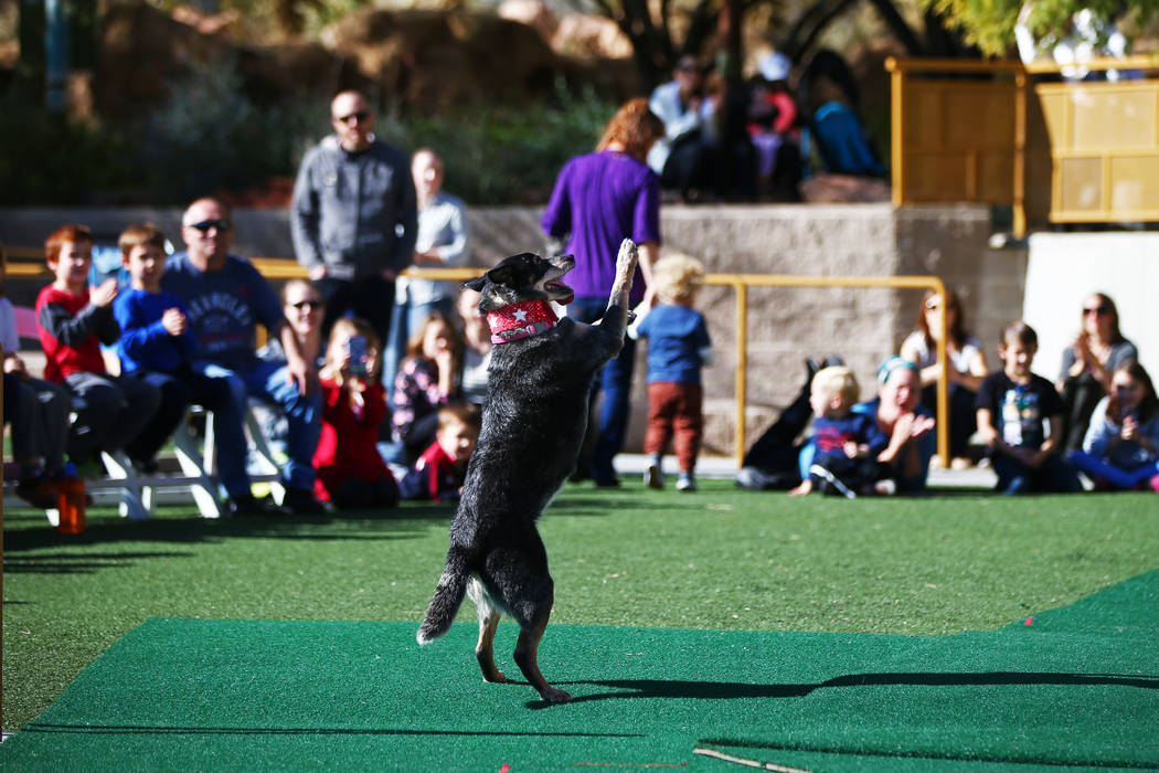 Chuey dances for the crowd during Jump! The Ultimate Dog Show at the Springs Preserve in Las Vegas, Jan. 13, 2018. The Las Vegas-based company produces action-packed performances and features a va ...