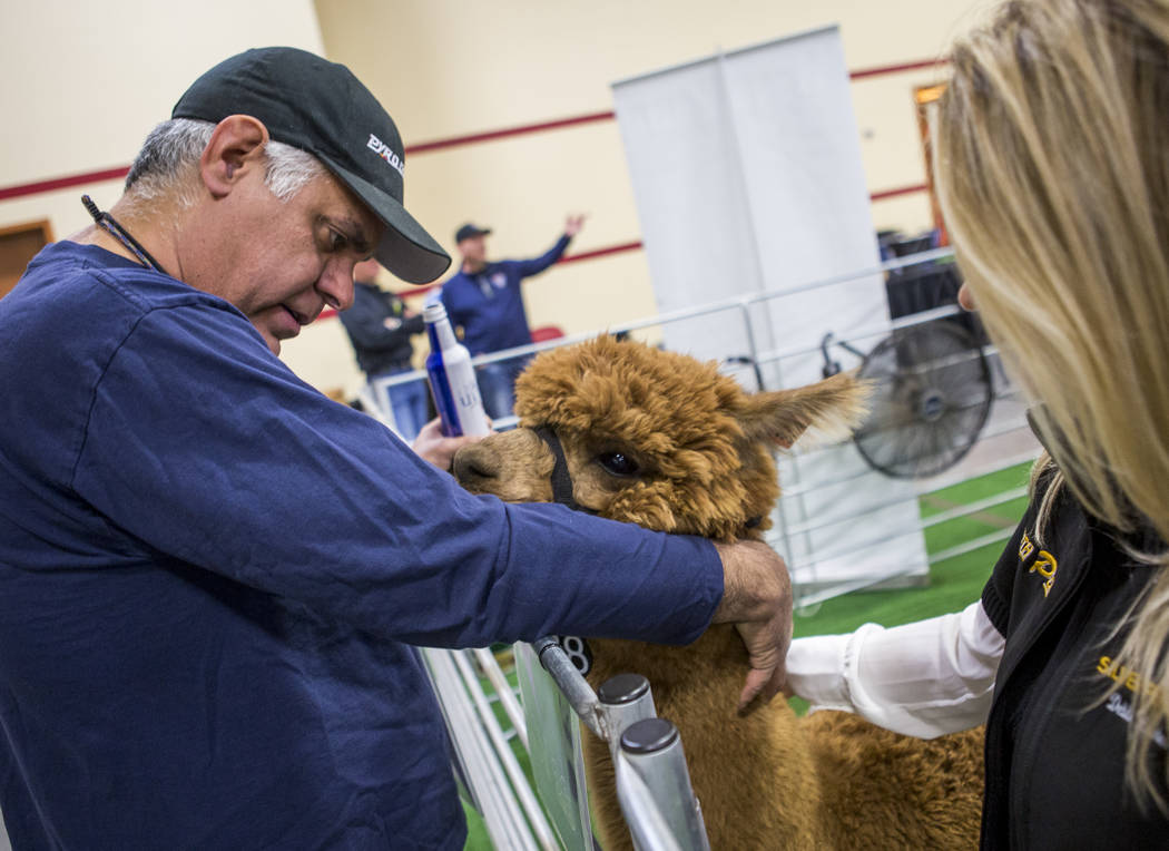Eduardo Leija of Los Angeles pets Optimistic, a two-year-old female alpaca from Silver Penn Sales, while Debbie Harden-Vigus of Silver Penn Sales stands by during the registration and alpaca previ ...