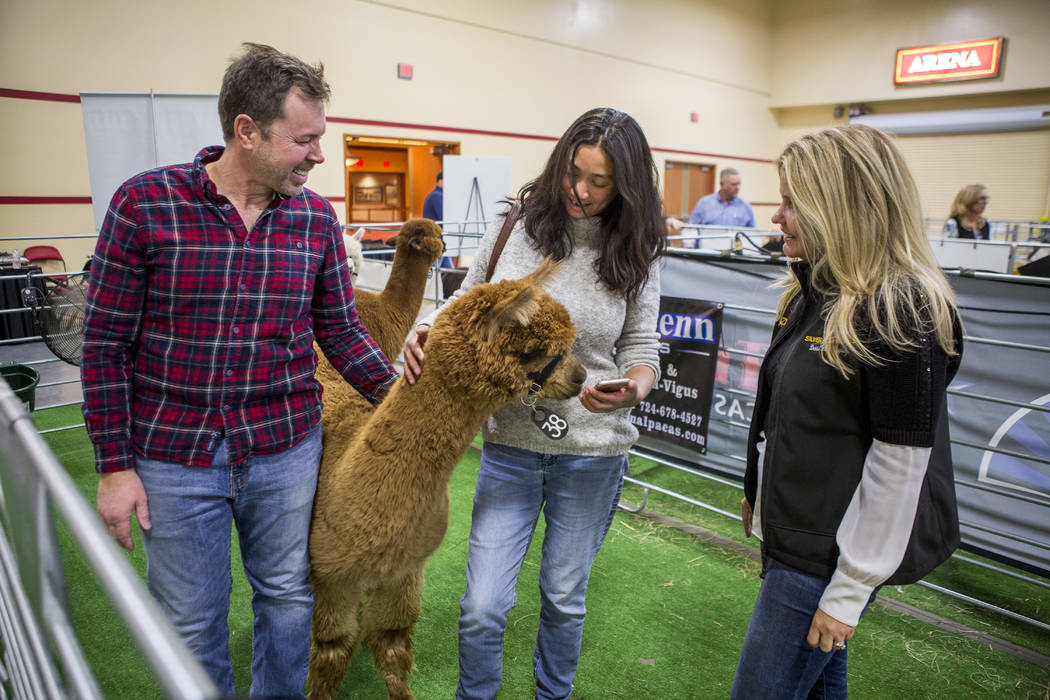 Paul Amato and Denise Consengco of Las Vegas visit with Optimistic, a two-year-old female alpaca, while Debbie Harden-Vigus of Silver Penn Sales watches during the registration and alpaca preview  ...