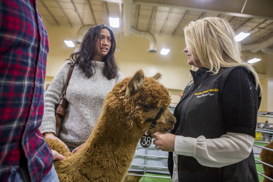 Debbie Harden-Vigus of Silver Penn Sales talks with Paul Amato and Denise Consengco of Las Vegas while they visit with Optimistic, a two-year-old female alpaca, during the registration and alpaca  ...