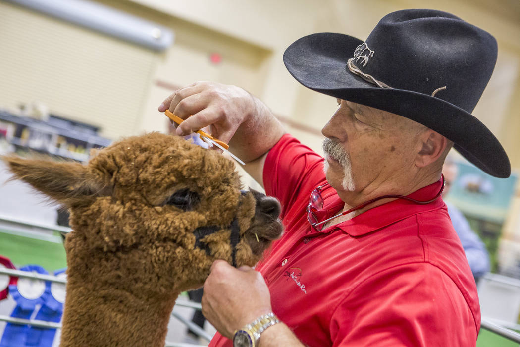 Marc Milligan, who raises alpacas with Red Granite Ranch of Livermore, Colo., works on trimming the wool of an alpaca during the registration and alpaca preview of the Priority Alpaca Auction at S ...