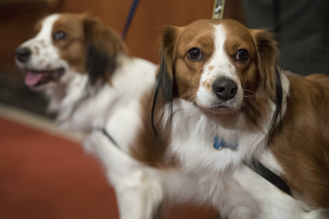 Nederlandse kooikerhondje, Escher, right, and Rhett are shown during a news conference at the American Kennel Club headquarters, Wednesday, Jan. 10, 2018, in New York.  The club announced that it' ...