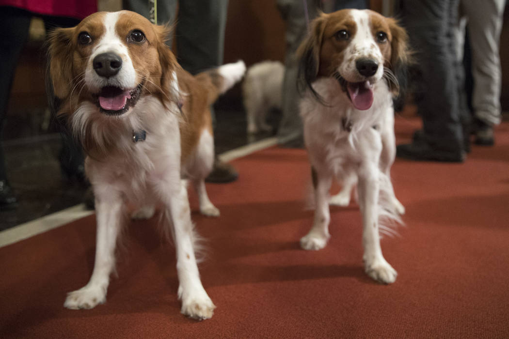 Nederlandse kooikerhondje Escher, right, and Rhett are shown during a news conference at the American Kennel Club headquarters, Wednesday, Jan. 10, 2018, in New York. The club announced that it's  ...