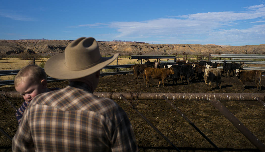 Cliven Bundy checks on cattle with his grandson LaVoy at Bundy Ranch in Bunkerville on Thursday, Jan. 11, 2018. Bundy was released from federal custody after charges against him were dismissed in  ...