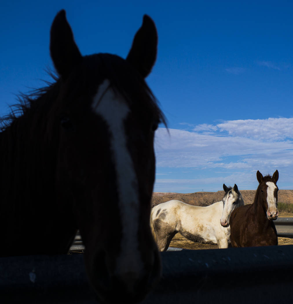Horses at Bundy Ranch in Bunkerville on Thursday, Jan. 11, 2018. Bundy was released from federal custody after charges against him were dismissed in his trial. Chase Stevens Las Vegas Review-Journ ...