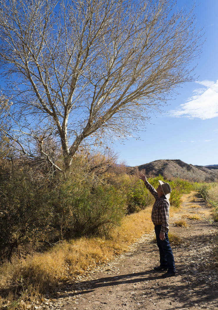Cliven Bundy points out a tree that stood just 10 feet tall the last time he saw it at Bundy Ranch in Bunkerville on Thursday, Jan. 11, 2018. Bundy was released from federal custody after charges  ...