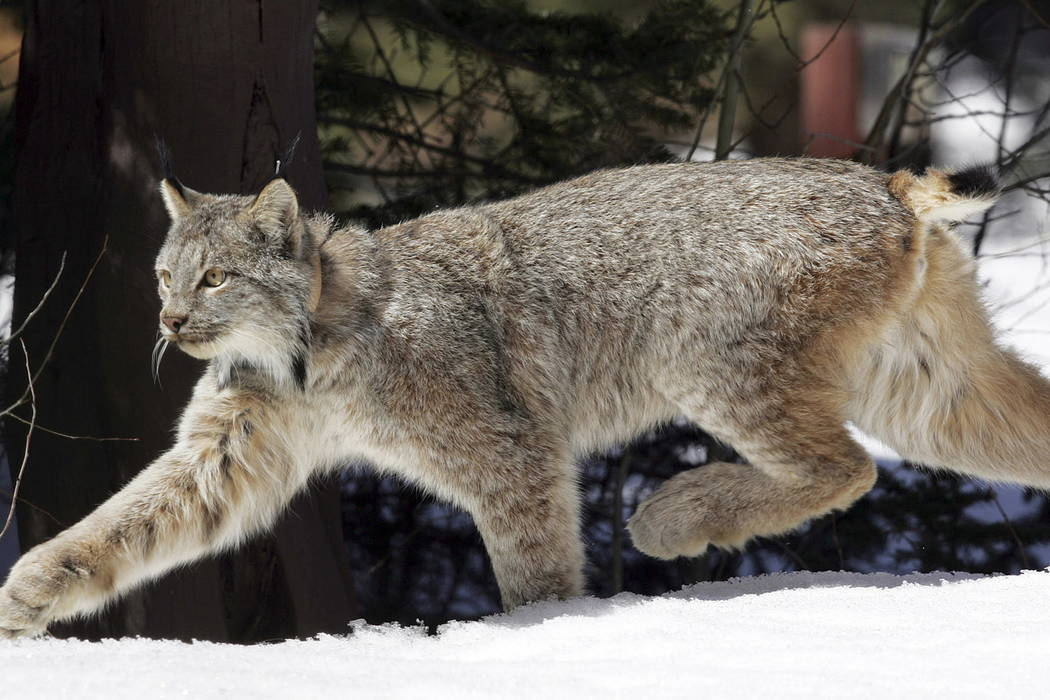 A Canada lynx heads into the Rio Grande National Forest after being released near Creede, Colo., in 2005. (AP Photo/David Zalubowski, File)
