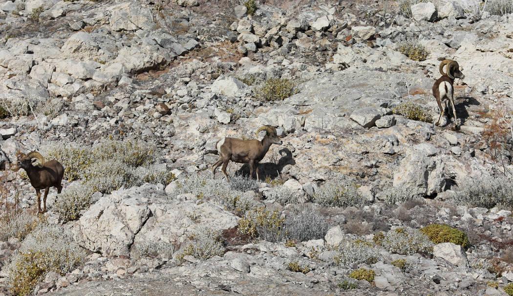 Several ram graze at Lake Mead National Recreation Area, Wednesday, Jan. 17, 2018. Andrea Cornejo Las Vegas Review-Journal @DreaCornejo