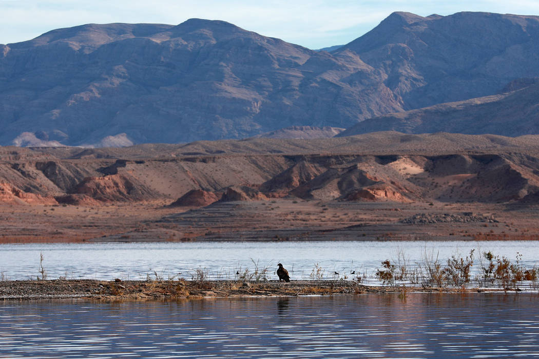 A bald eagle rests on a bank at Lake Mead National Recreation Area, Wednesday, Jan. 17, 2018. Survey teams set out at dawn to survey the local bald eagle population as part of a national effort to ...