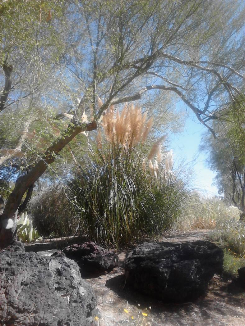 Bob Morris Pampas grass is very hardy in desert climates.