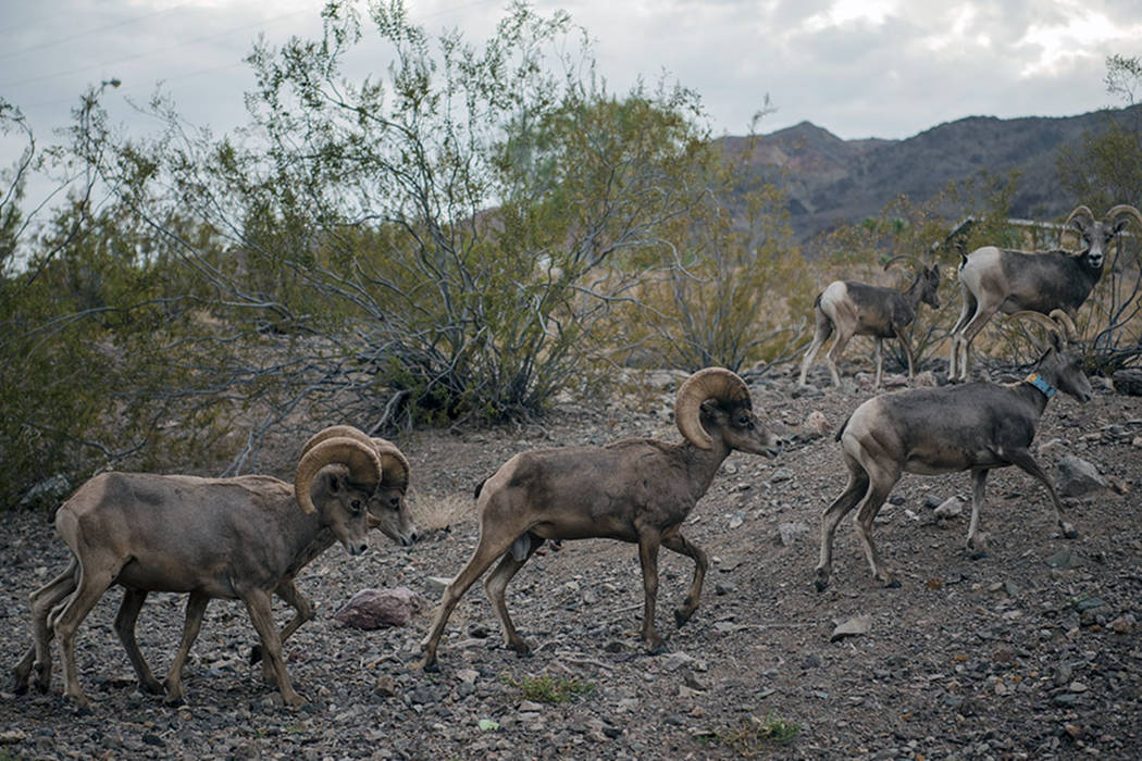 Bighorn sheep leaving Hemenway Park on Tuesday, July 18, 2017, in Boulder City. (Las Vegas Review-Journal)