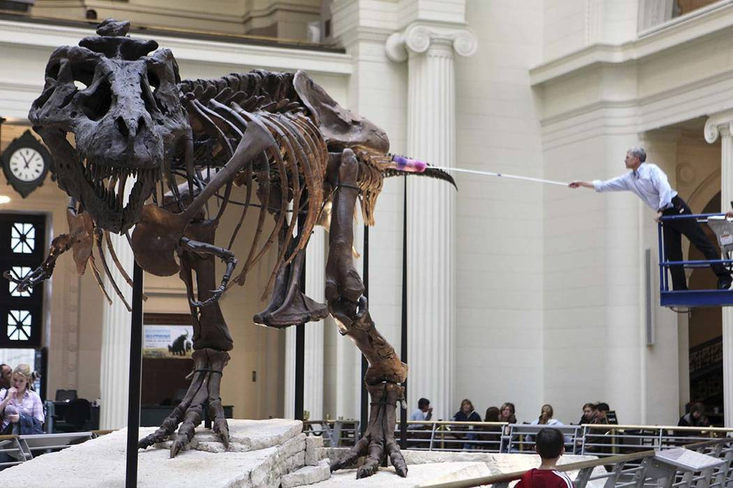 In a May 12, 2010 file photo, Bill Simpson, collections manager of fossil vertebrates at Chicago's Field Museum, reaches over to dust the Tyrannosaurus rex skeleton known as Sue on display at muse ...