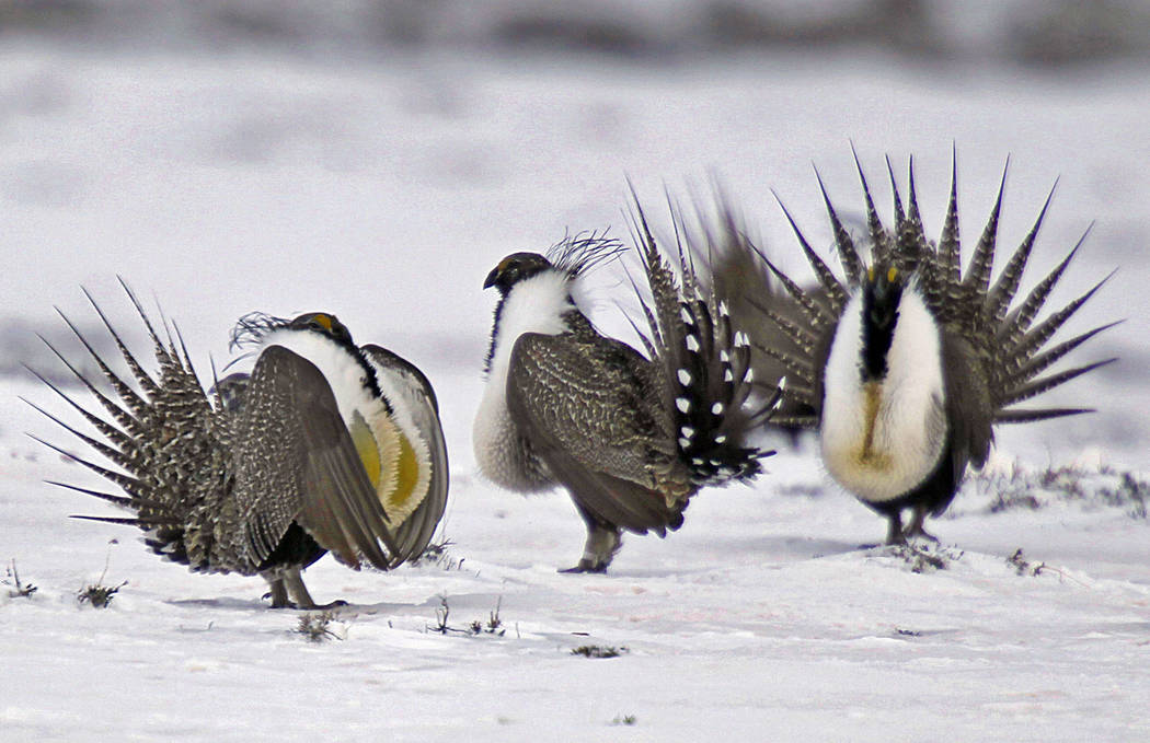 Male greater sage grouse perform mating rituals for a female grouse, not pictured, on a lake outside Walden, Colo., April 20, 2013. More than 50,000 square miles of Bureau of Land Management land  ...
