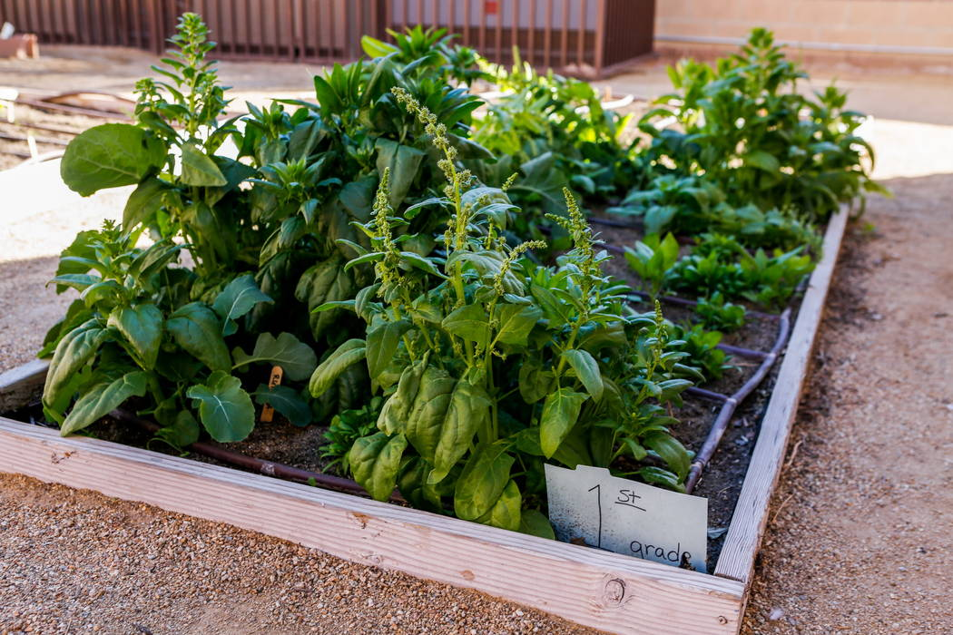 A garden for elementary schoolers at Democracy Prep at Agassi Campus on Lake Mead Boulevard on Thursday, Feb. 8, 2018.  Patrick Connolly Las Vegas Review-Journal @PConnPie