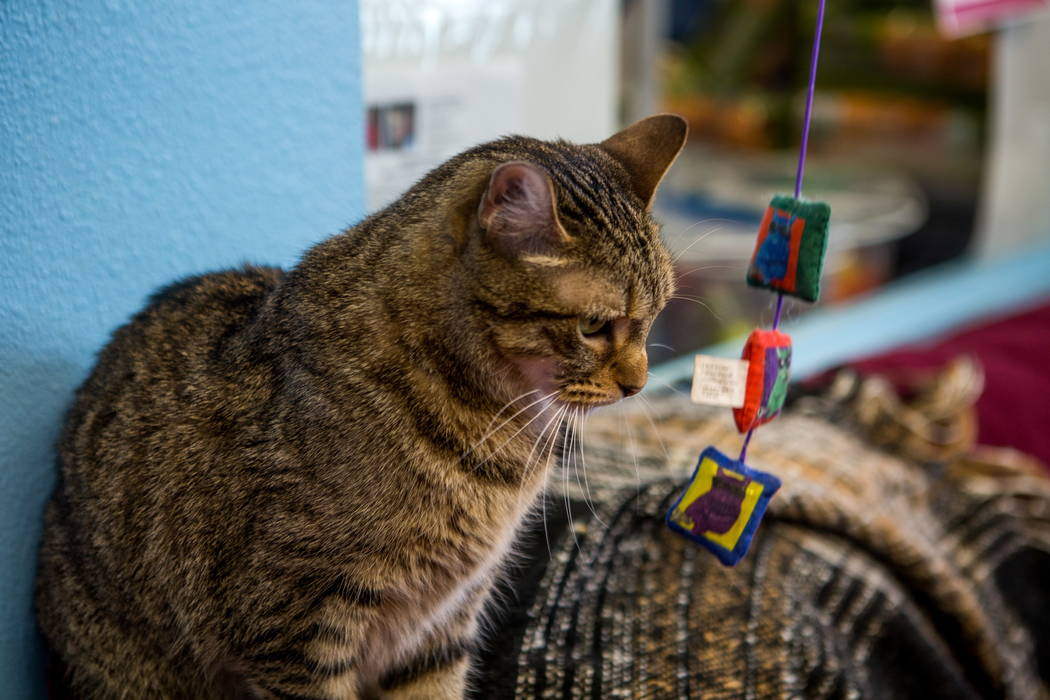 Zena sizes up a cat toy while playing with visitors to a pop-up cat cafe at Hearts Alive Village in Las Vegas on Saturday, Feb. 10, 2018.  Patrick Connolly Las Vegas Review-Journal @PConnPie