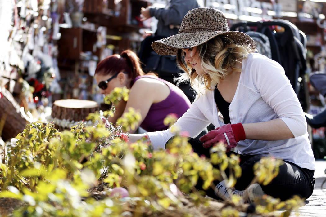 Volunteer Ardennes Vickery, 22, of Las Vegas helps plant 10,000 daffodils at the Healing Garden in Las Vegas on Saturday, Feb. 10, 2018. Andrea Cornejo Las Vegas Review-Journal @DreaCornejo