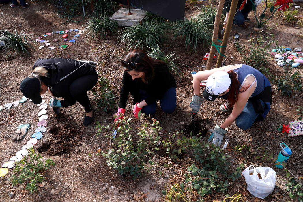 From left, Marie Buch, 38, Stephanie Afshari, 26, and Analena Fleischhacker, 29, help volunteers plant 10,000 daffodils at the Healing Garden in Las Vegas on Saturday, Feb. 10, 2018. Andrea Cornej ...