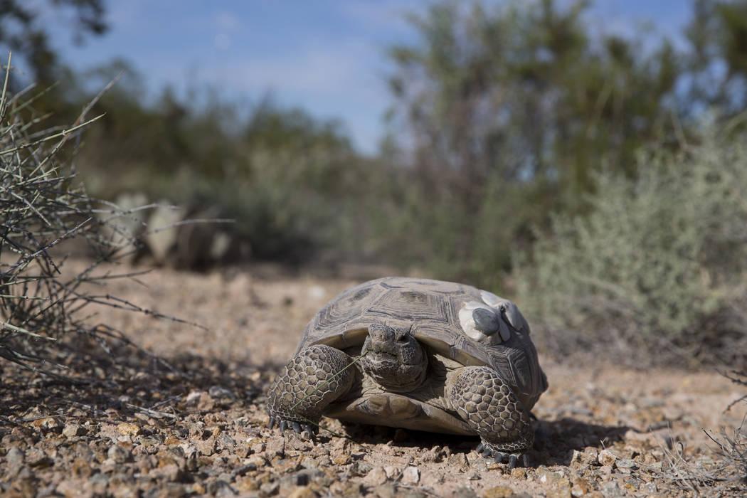 A female tortoise inside the Desert Tortoise Habitat at Springs Preserve in Las Vegas, Tuesday, Sept. 26, 2017. (Erik Verduzco/Las Vegas Review-Journal) @Erik_Verduzco