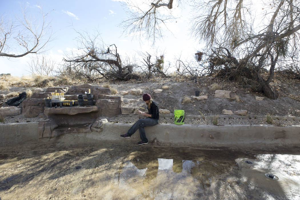 Nevada Conservation Corps volunteer Kym Sutton plants a Las Vegas bearpoppy along a stream bed at Springs Preserve's Cottonwood Grove on Monday, Feb. 12, 2018. The vegetation is listed as critical ...