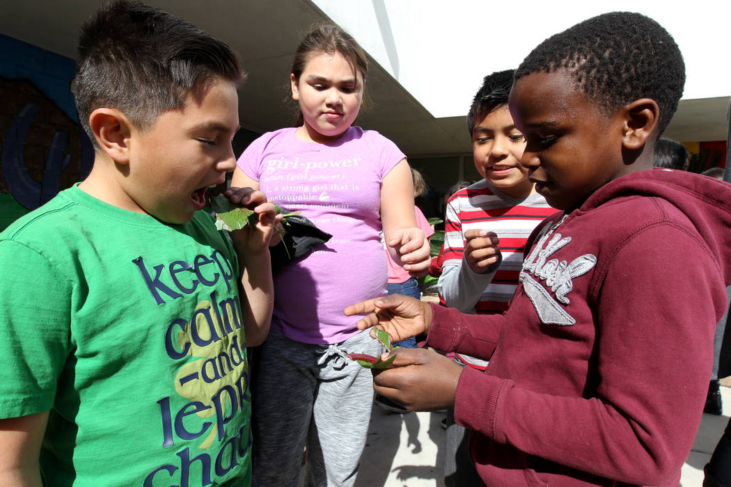 Woolley Elementary School third-graders, from left, Aiden Guillermo, Kaily Hernandez, Jonathan Belandran-Romero and Deven Williams eat Ruby Red chard grown in the Las Vegas school's garden Monday, ...