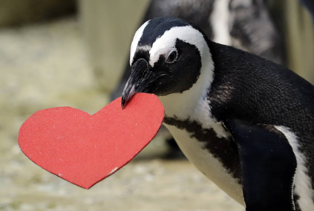 A penguin carries heart-shaped nesting material which it received from biologists as a Valentine's Day promotion at the California Academy of Sciences Tuesday, Feb. 13, 2018, in San Francisco. (AP ...