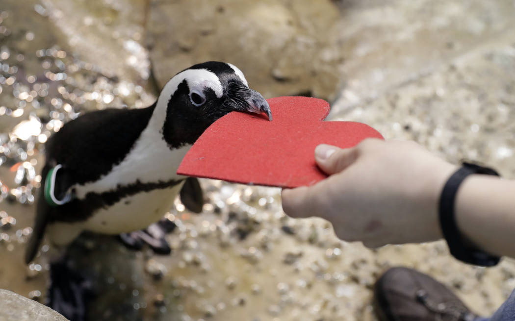 A penguin gets a heart-shaped nesting material from biologist Spencer Rennerfeldt at the California Academy of Sciences Tuesday, Feb. 13, 2018, in San Francisco. Academy staff handed out the heart ...