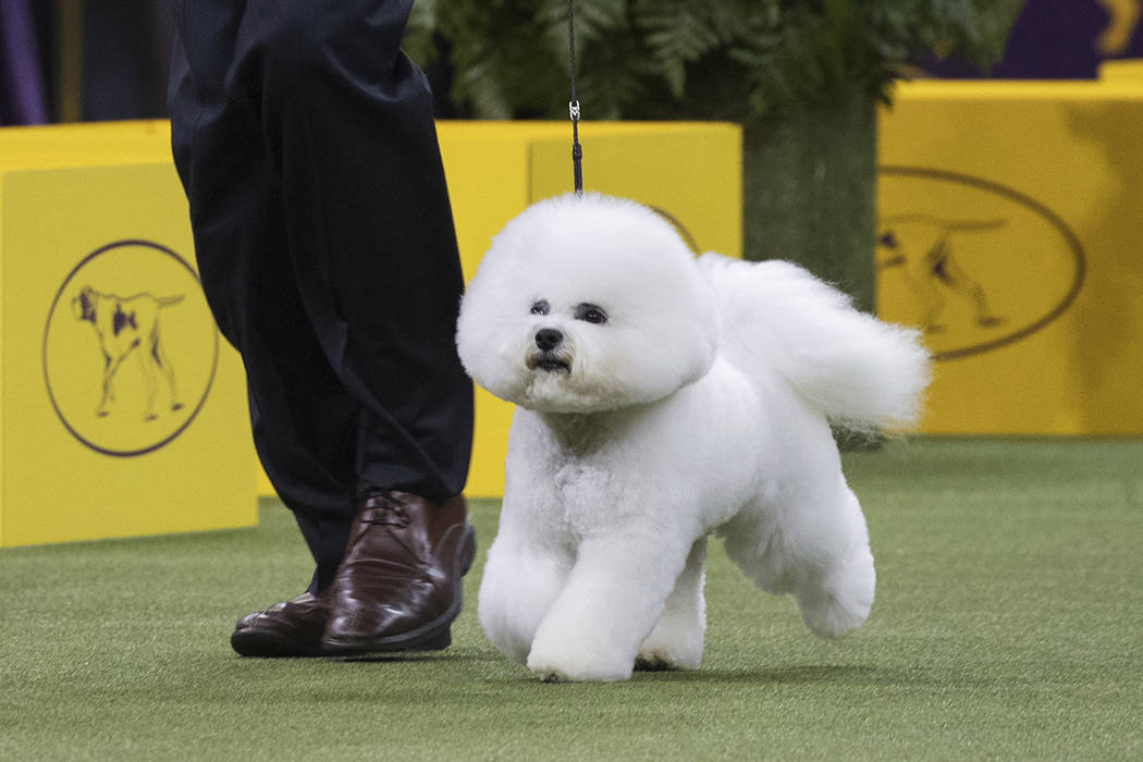 Bill McFadden shows Flynn, a bichon frise, in the ring during the non-sporting group during the 142nd Westminster Kennel Club Dog Show, Monday, Feb. 12, 2018, at Madison Square Garden in New York. ...