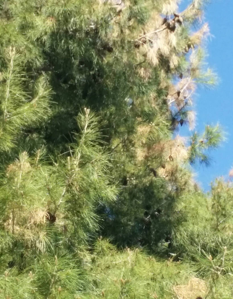 Bob Morris Browning found mostly toward the ends of the Aleppo pine branches is most likely Aleppo pine blight disorder.