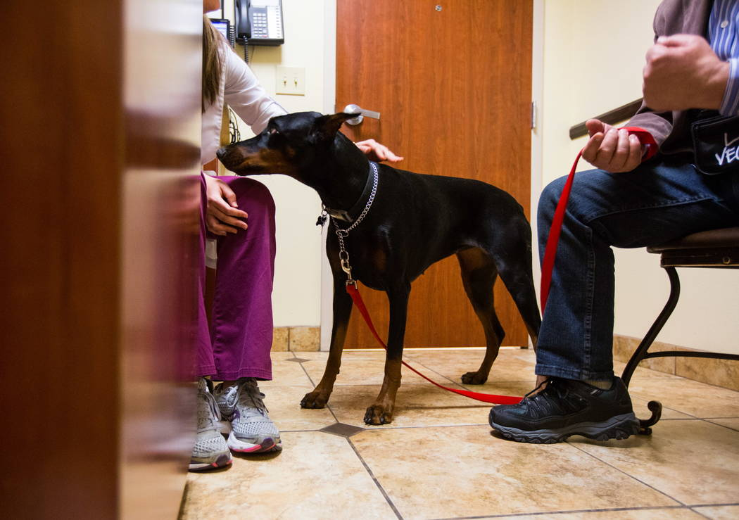 Harley, a one-year-old Doberman, before getting a flu shot at the Cheyenne West Animal Hospital in Las Vegas on Friday, Feb. 16, 2018. (Chase Stevens/Las Vegas Review-Journal) @csstevensphoto