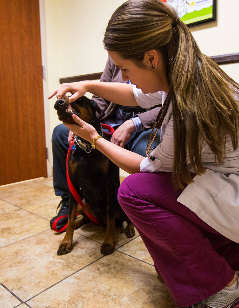 Dr. Brittney Spurling, a veterinarian at Cheyenne West Animal Hospital, checks on Harley, a one-year-old Doberman, before giving her a flu shot in Las Vegas on Friday, Feb. 16, 2018. (Chase Steven ...