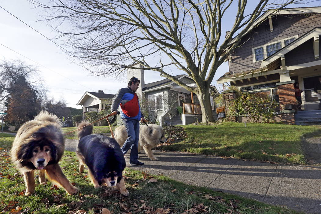 A man walks dogs though a single-family neighborhood dotted with bungalows and stately Craftsman homes, where a proposal would allow houses to be built three-to-five stories high in Seattle in Dec ...