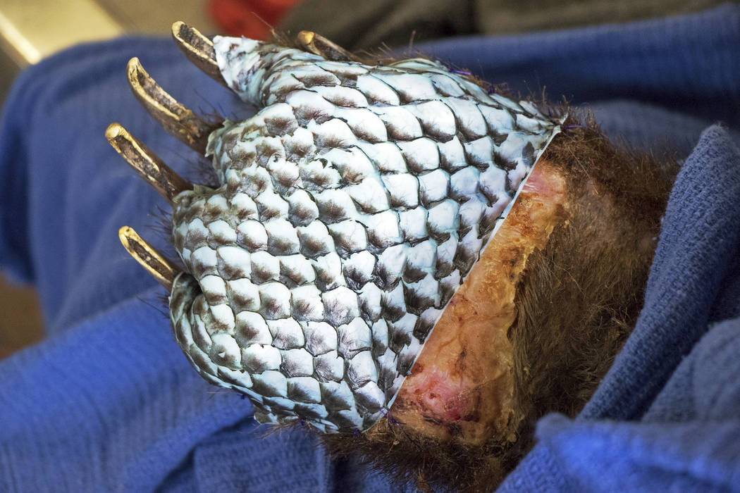 The badly burned paw of a bear, injured in a wildfire, wrapped in fish skin - tilapia - during treatment at the University of California, Davis Veterinary Medical Teaching Hospital in Davis, Calif ...