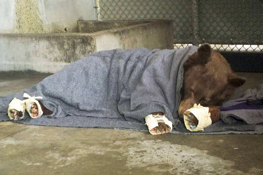 A bear, injured in a wildfire, resting with its badly burned paws wrapped in fish skin - tilapia - and covered in corn husks during treatment at the University of California, Davis Veterinary Medi ...