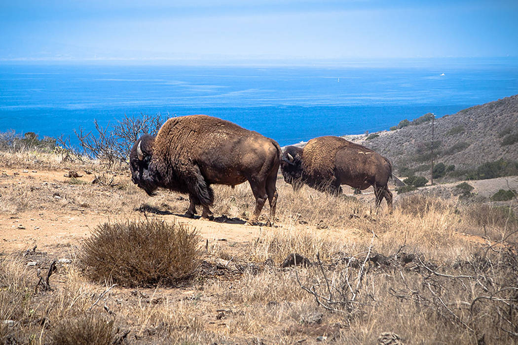 Image result for catalina island buffalo