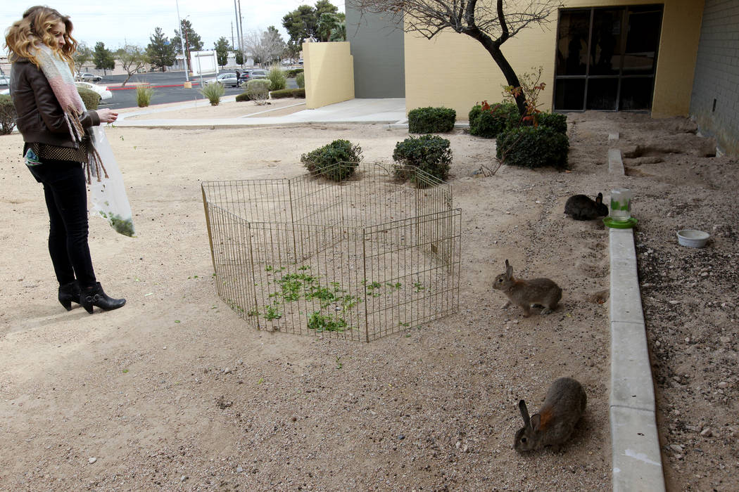 Tina Dawn Drouin of Vegas Bunny Rescue tries to capture rabbits at the State of Nevada West Charleston Campus Monday, Feb. 19, 2018. Drouin and representatives from other rabbit rescue groups say  ...