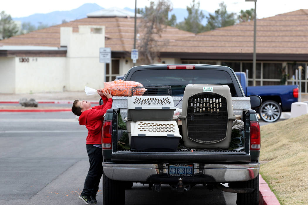 Brayden Broach, 9, unloads carrots used to capture rabbits at the State of Nevada West Charleston Campus Monday, Feb. 19, 2018. Rabbit rescue groups say they found many of the hundreds of domestic ...