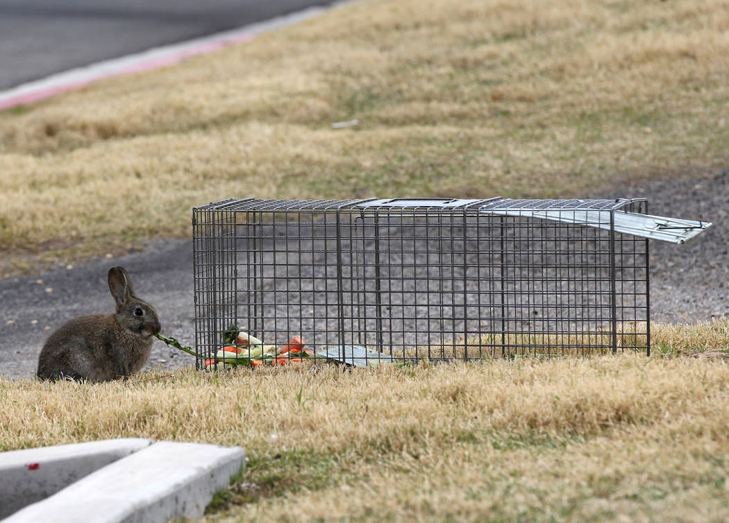 A rabbit eats bait food from outside a trap at the State of Nevada West Charleston Campus Monday, Feb. 19, 2018. Rabbit rescue groups say they found many of the hundreds of domestic rabbits who li ...
