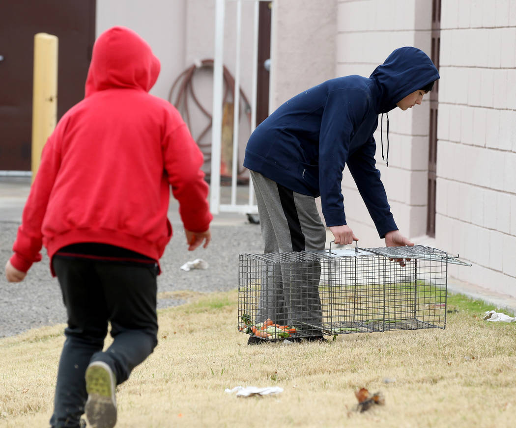 Brayden Broach, 9, left, and Christopher DeHoedt, 13, try to capture rabbits at the State of Nevada West Charleston Campus Monday, Feb. 19, 2018. Rabbit rescue groups say they found many of the hu ...