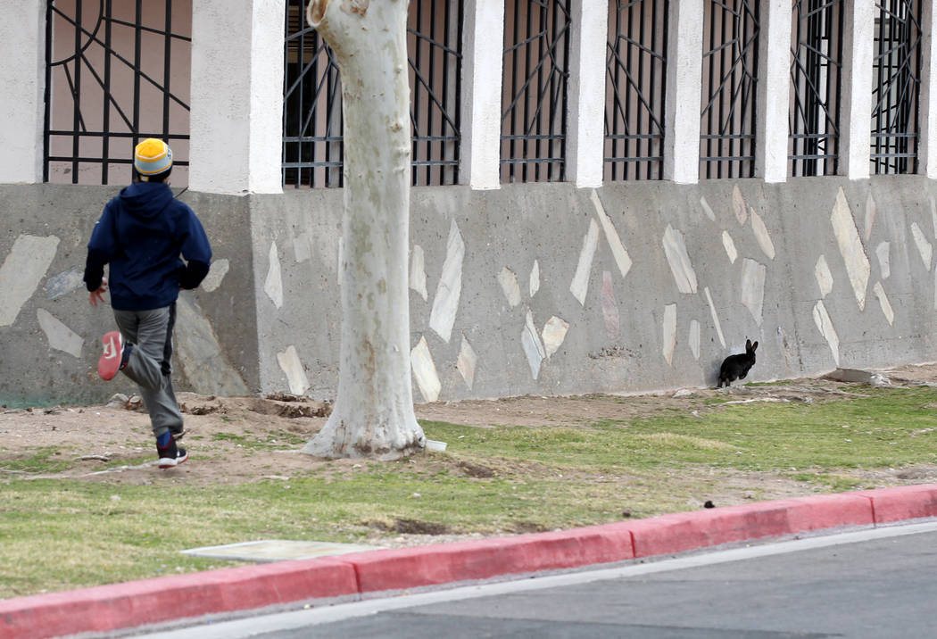 Christopher DeHoedt, 13, ties to capture a rabbit at the State of Nevada West Charleston Campus Monday, Feb. 19, 2018. Rabbit rescue groups say they found many of the hundreds of domestic rabbits  ...