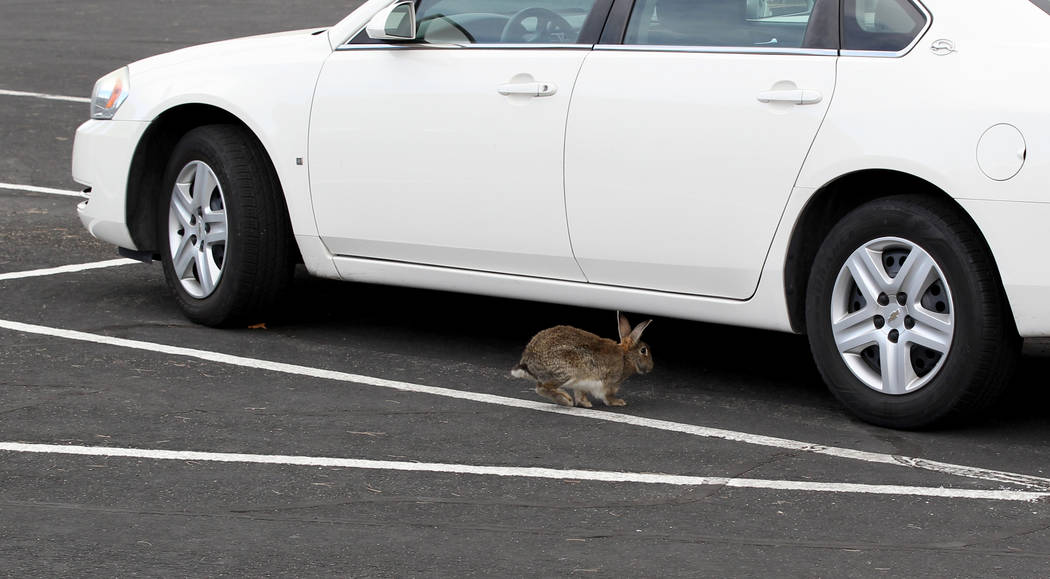A rabbit at the State of Nevada West Charleston Campus Monday, Feb. 19, 2018. Rabbit rescue groups say they found many of the hundreds of domestic rabbits who live at the mental health facility de ...