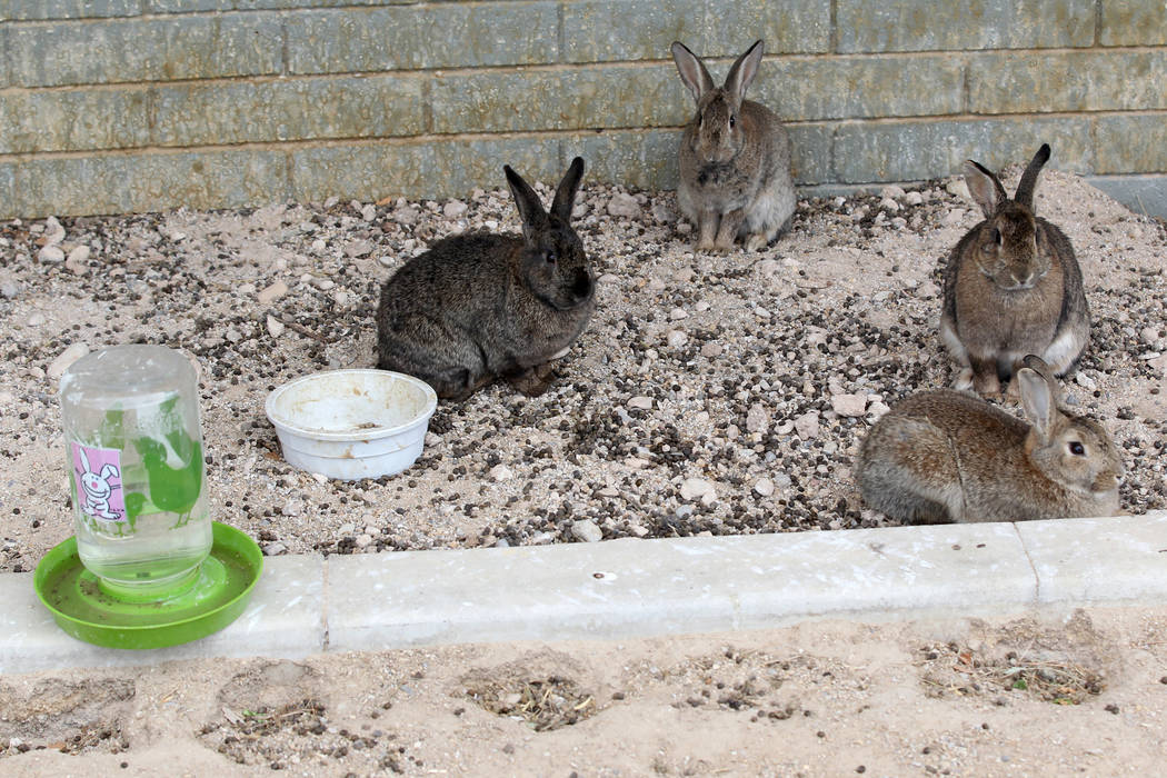 Rabbits at the State of Nevada West Charleston Campus Monday, Feb. 19, 2018. Rabbit rescue groups say they found many of the hundreds of domestic rabbits who live at the mental health facility dea ...