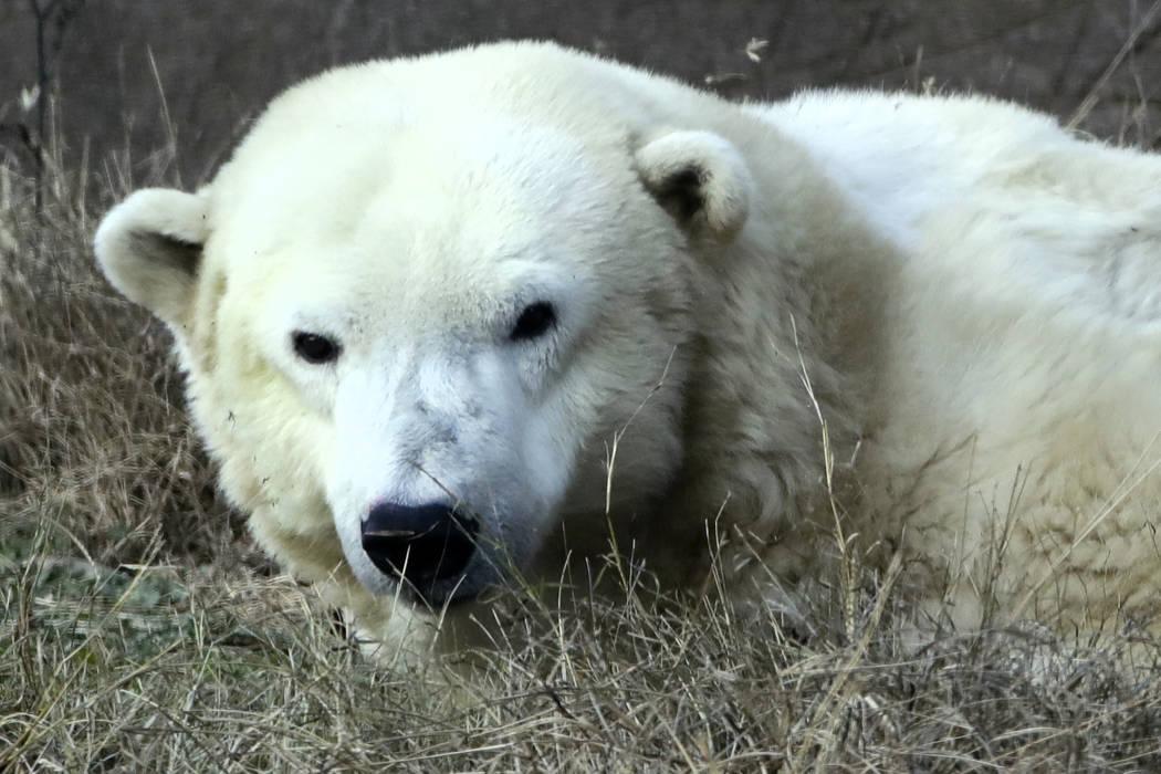 A female polar bear named Coldilocks looks up from a nap during a day of activities marking the polar bear's 36th birthday at the Philadelphia Zoo in Philadelphia,  Dec. 16, 2016. Coldilocks, who  ...