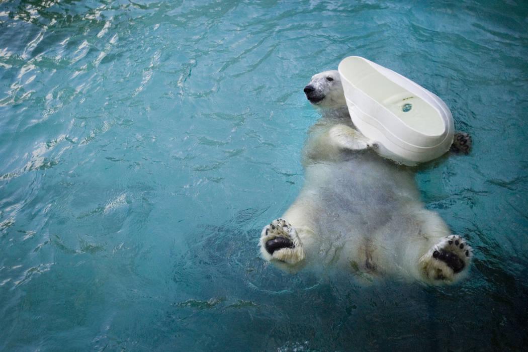 A female polar bear named Coldilocks plays with a container at the Philadelphia Zoo in Philadelphia, Jan. 16, 2008. Coldilocks, who was the oldest captive polar bear in the U.S., has been euthaniz ...