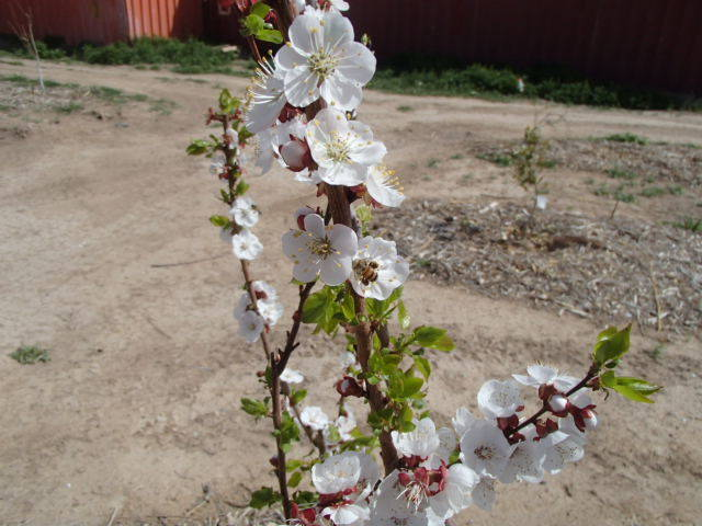 Bob Morris Plums, plum relatives and citrus that are now flowering or have finished flowering may lose their fruit this season due to this cold weather.