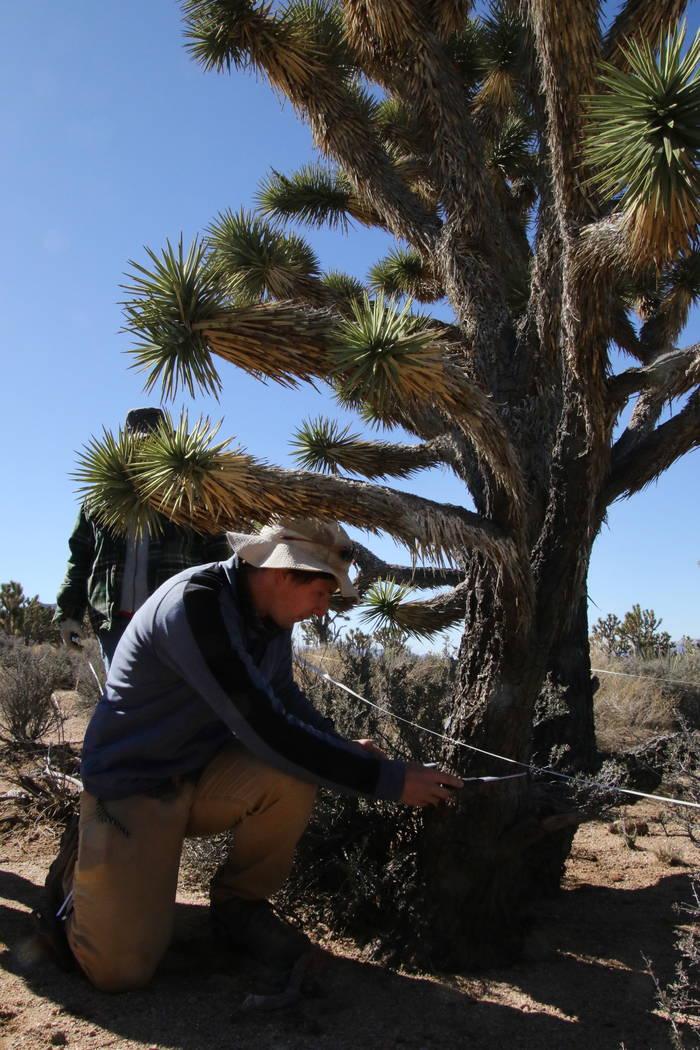 U.S. Geological Survey biologist Patrick Baird measures the trunk of a Joshua tree near Meadview, Arizona, Tuesday, Feb. 20, 2018. (Henry Brean/Las Vegas Review-Journal)