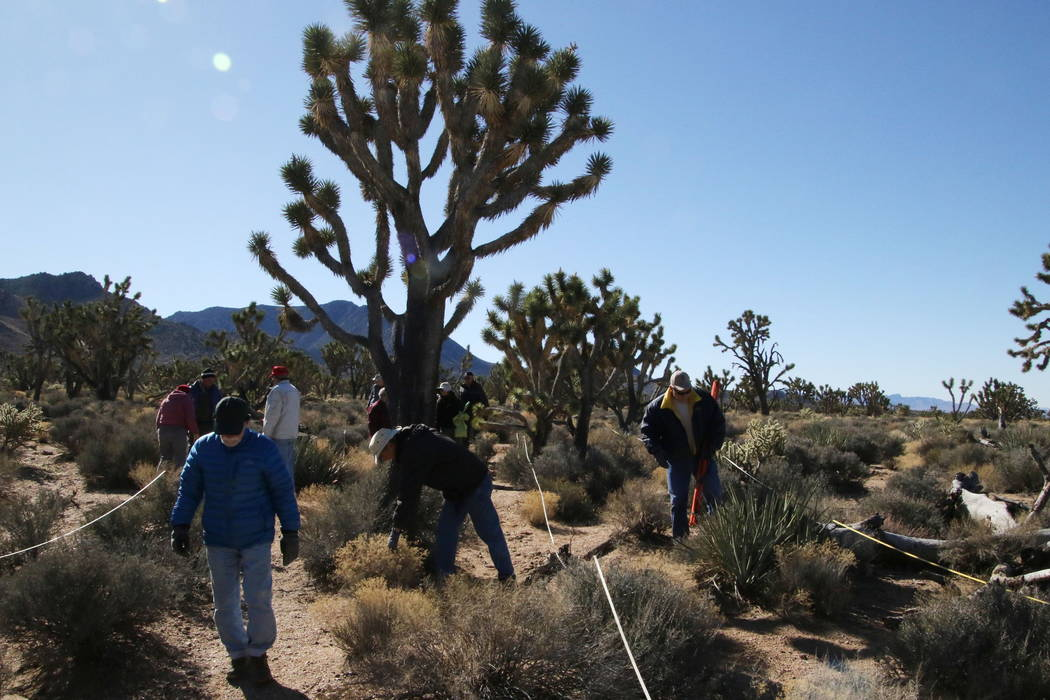 Researchers and volunteers search for young Joshua trees during a scientific survey near Meadview, Arizona, Tuesday, Feb. 20, 2018. (Henry Brean/Las Vegas Review-Journal)