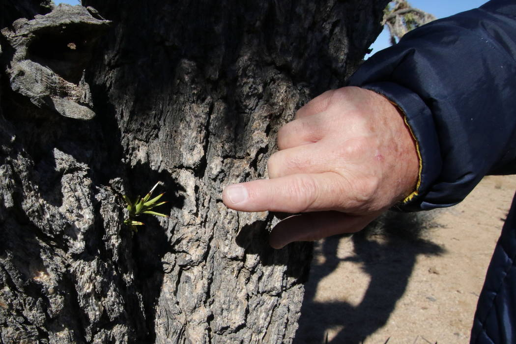 Volunteer Chuck Steffen points out a new bud growing from the trunk of a Joshua tree near Meadview, Arizona, Tuesday, Feb. 20, 2018. (Henry Brean/Las Vegas Review-Journal)
