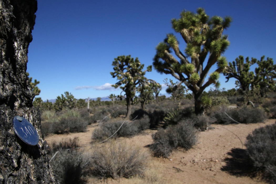 A numbered tag marks a Joshua tree that's part of a new scientific plot set up near Meadview, Arizona, Tuesday, Feb. 20, 2018. (Henry Brean/Las Vegas Review-Journal)