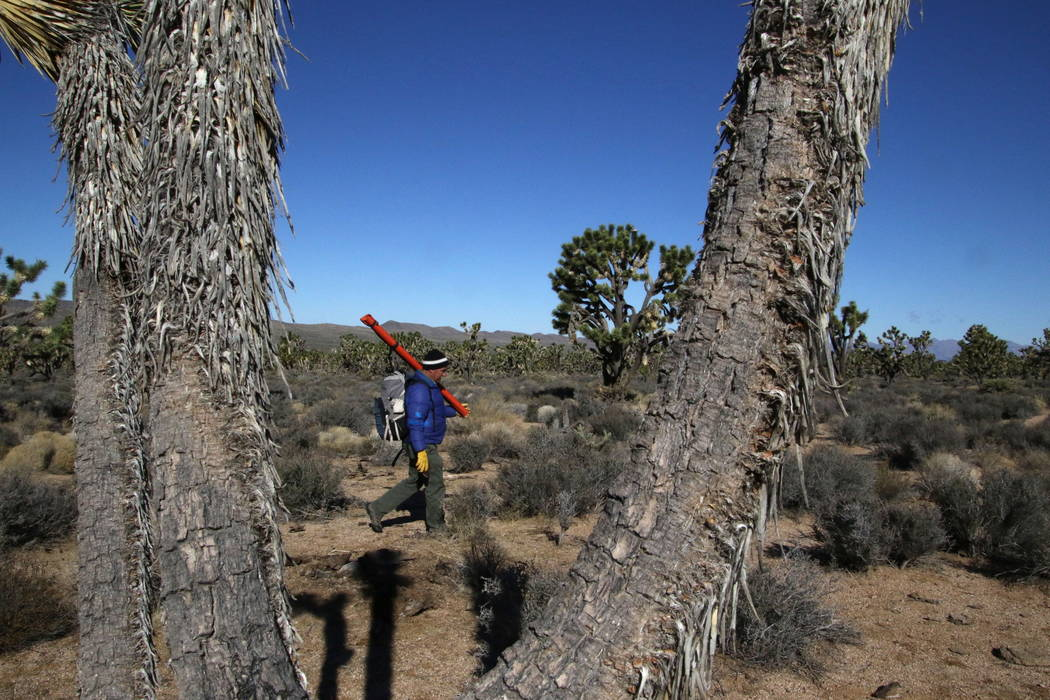 U.S. Geological Survey ecologist Todd Esque carries survey equipment into the Grapevine Mesa Joshua Tree Forest near Meadview, Arizona, Tuesday, Feb. 20, 2018. (Henry Brean/Las Vegas Review-Journal)